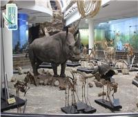 صور  «عزيزة» تنتقل من عالم الأحياء إلى محنطات المتحف الحيواني