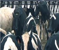 سويسرا تعلن عن أول إصابة بـ«جنون البقر»