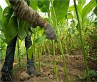 مزاج المصريين| ما لا تعرفه عن زراعة «التبغ» وأسباب منعها في مصر