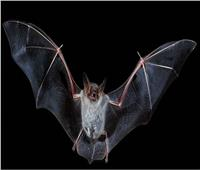 بعد ربطه بـ5 أمراض فتاكة أخرها الكورونا| تعرف على الخفاش في علم الطاقة