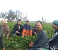 «الزراعة»: لجان للمرور على زراعات الفراولة وتقديم التوعية للمزارعين