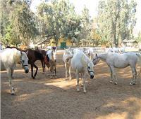 الزراعة تؤكد على دعم «محطة الزهراء» وتوضح حقيقة نفوق الخيول