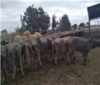 «الزراعة» تطمئن على رؤوس الماشية التابعة لقطاع الإنتاج