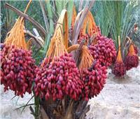 «الزراعة» تصدر 14 توصية لمكافحة آفات ثمار النخيل