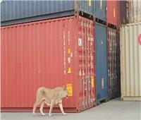 صور| 3 أسود تتجول بين الحاويات.. وميناء الإسكندرية يرد