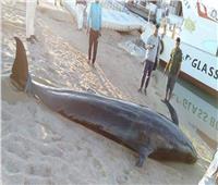 «علوم البحار» تكشف مصير «الحوت النافق» بالغردقة