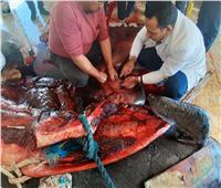 صور| تعرف على سبب نفوق «الحوت القاتل» بعد تشريحه بمعهد علوم البحار