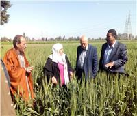 «الزراعة» تتابع محصول القمح في محافظة الغربية