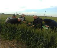 نتائج مبشرة.. الزراعة تتابع محصول القمح في الغربية وكفر الشيخ