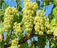 لـ«مزارعي العنب».. روشتة نصائح لمكافحة الآفات
