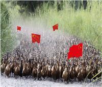 باكستان تستعين بـ«فيلق بط» صيني لمحاربة الجراد