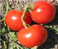 4 نصائح لـ«مزارعي الطماطم» خلال مارس.. تعرف عليها