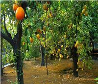 10 نصائح لـ«مزارعي الموالح» لمكافحة الآفات..تعرف عليها