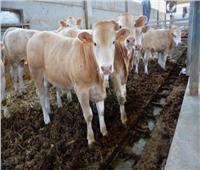 «الزراعة»: استيراد 141 ألف رأس عجول تسمين استعدادا لشهر رمضان وعيد الأضحى