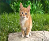 بعدوى من صاحبه.. «قط» يصاب بفيروس كورونا