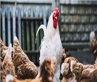 حقيقة إصابة الطيور الحية بسلالة جديدة من إنفلونزا الطيور