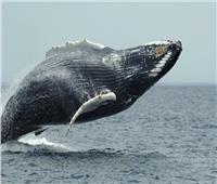 شاهد| ظهور حيتان ضخمة قبالة ساحل مرسيليا بفرنسا