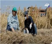 مدير البحوث الزراعية: محصول القمح يصل لـ  9 ملايين طن ويحقق لمصر الاكتفاء الذاتى من الخبز