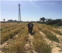 موسم حصاد القمح والشعير في سيناء مايو القادم