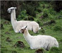 أمل جديد.. هل يأتي علاج فيروس كورونا من حيوانات اللاما؟
