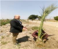 فيها حاجة حلوة.. رئيس وحدة محلية يزرع 25 نخلة لتجميل شوارع قرية الدير بالقليوبية