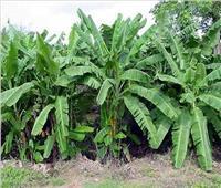 تباين الآراء حول قرار حظر زراعة الموز في الأراضي الصحراوية
