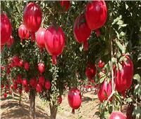 6 نصائح لـ«مزارعي الرمان» لزيادة وجودة الإنتاج..تعرف عليها