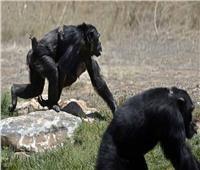 تايلاند تلجأ إلى القرود لتجربة لقاح كورونا