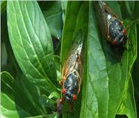 بعد 17 عاما من اختفائها| حشرة «الزيز» تقترب من الظهور