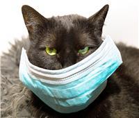 لأول مرة في روسيا.. إصابة قطة بفيروس كورونا