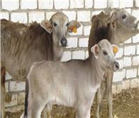 الزراعة تشدد على الترقيم والتلقيح الصناعي للنهوض بالثروة الحيوانية