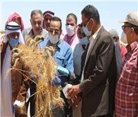 افتتاح موسم حصاد القمح والشعير بشمال سيناء