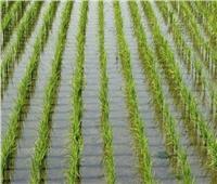 الزراعة تصدر روشتة توصيات لمزارعي الأرز خلال شهر يونيو