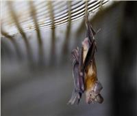 ما الأخطر الخفافيش أم فيروسات كورونا؟ دراسة حديثة تكشف