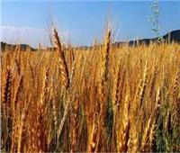 توريد 172 ألفا و 367 طنا من محصول القمح إلى مواقع التخزين بكفر الشيخ