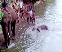 نفوق أنثى الفيل وجنينها بسبب «وجبة مفرقعات»