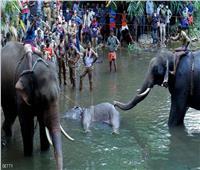 بعد وضعه لأناناس مفخخ .. القبض على المتهم في قضية «نفوق أنثى الفيل وجنينها»