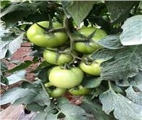 الزراعة تكشف عن ابتكار جديد لمكافحة أمراض محصولي الفلفل والطماطم