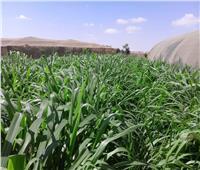 صور| «بحوث الصحراء» ينجح في أقلمة نبات البانيكم المتحمل للملوحة