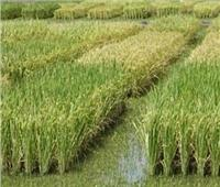 «الفلاحين» تنفي ارتفاع أسعار الأرز الفترة المقبلة
