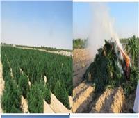ضبط مزرعة بانجو على مساحة 10 أفدنة في البحيرة