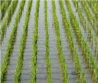 «الزراعة» تصدر روشتة نصائح للفلاح بشأن التعامل مع محصول الأرز