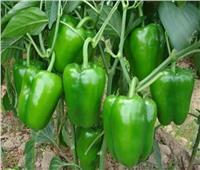 «نقيب الفلاحين»: نزرع قرابة 50 ألف فدان فلفل سنويا