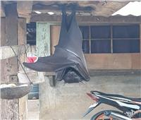 صور| بالحجم البشري.. خفاش عملاق يثير الجدل على «السوشيال ميديا»