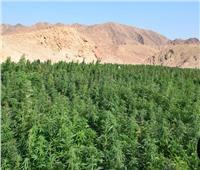 إبادة 2 فدان منزرعة بانجو بمنطقة جبلية جنوب سيناء