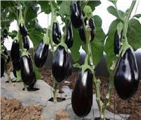 «نقيب الفلاحين»: نزرع 50 ألف فدان من الباذنجان ونصدر حوالي 819 طن
