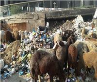 «نقيب الفلاحين» يحذر من شراء الأضاحي التي تتغذي على القمامة