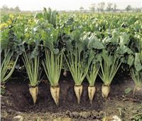 «الزراعة» تصدر روشتة نصائح للتعامل مع محصول بنجر السكر خلال اغسطس