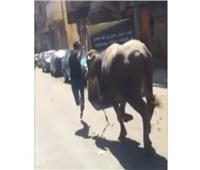 صور وفيديو| هروب عجول عيد الأضحى مشاهد متكررة مع المصريين