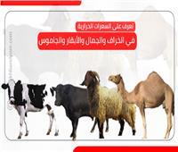 إنفوجراف| تعرف على السعرات الحرارية في الخراف والجمال والأبقار والجاموس